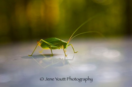 green cicada_9915