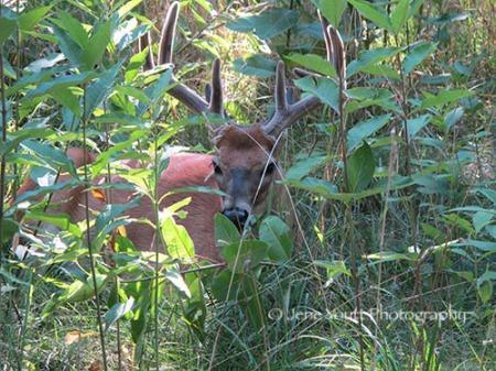 shen deer