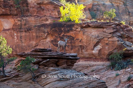 Mountain goat, zion national park, Utah
