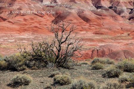 Tree in Painted desert