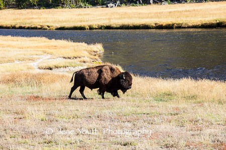 tatanka, buffalo